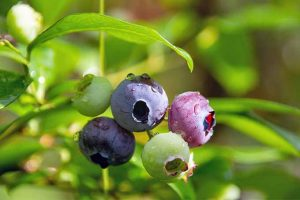 Top 10 Blueberry Varieties to Grow for Home Harvests