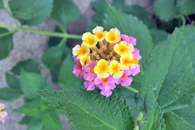 A cluster of pink and yellow lantana flowers, with dark green leaves pictured on a soft focus background.