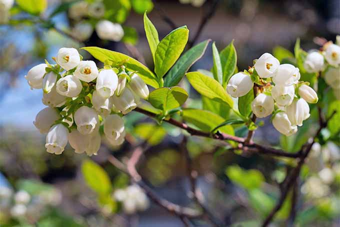 White blueberry flowers growing on a branch with green leaves.