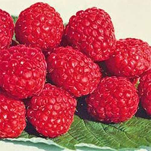 A pile of bright red Boyne raspberries are resting on top of a green leaf from the same plant.