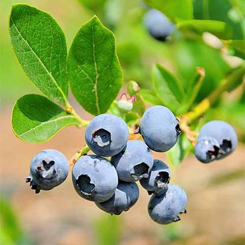 Twelve 'Brightwell' blueberries growing on a stem with three green leaves, with more leaves and brown soil in the background in shallow focus.