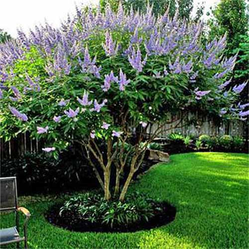 A chaste tree growing in the garden, with purple flowres and green foliage, growing in a green lawn next to a brown outdoor chair.