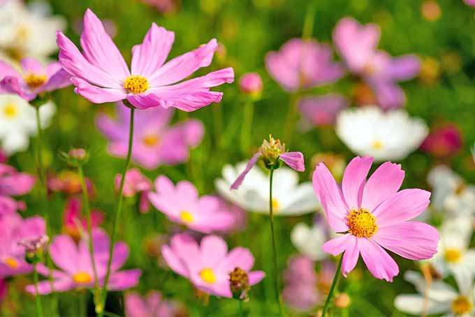 Closeup of pink and white cosmos growing in a sunny meadow pictured on a soft focus background.
