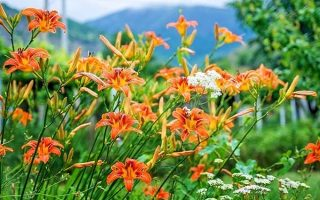 Daylilies in the Garden: Growing a Carefree Perennial