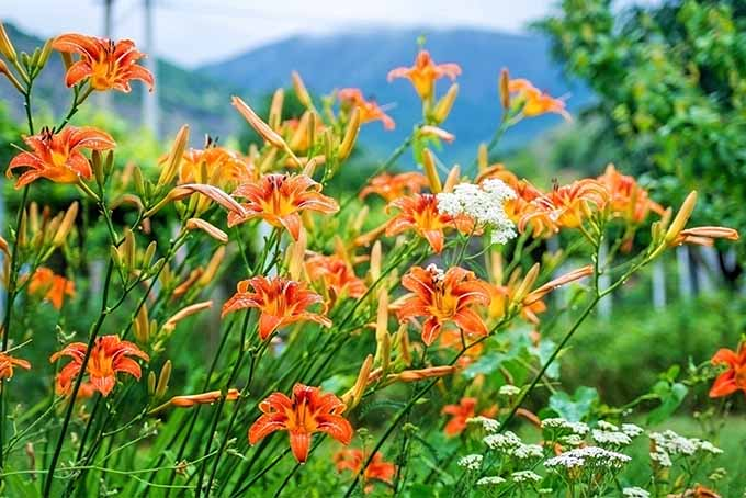 Orange daylily flowers grow in a garden bed with white Queen Anne's lace, with green trees in the background and mountains far in the distance against a white sky.