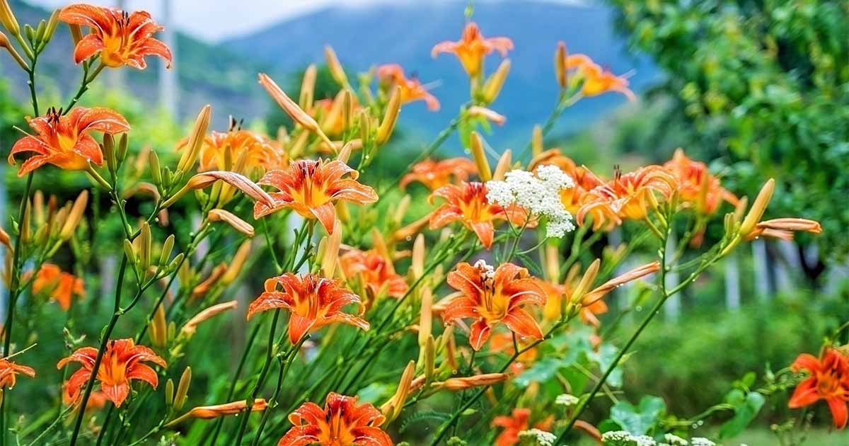 How To Grow Daylily A Carefree Perennial Gardener S Path