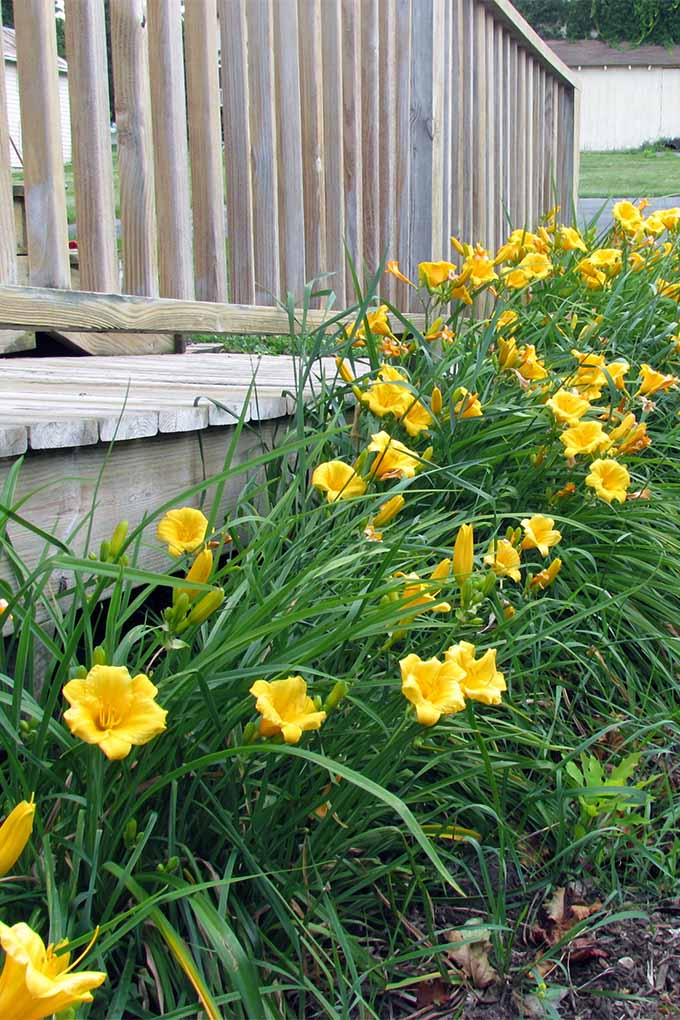 Yellow daylilies with long, narrow, green foliage growing along the base of a wooden deck.