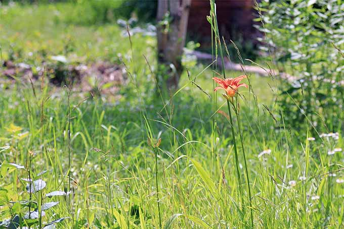 A single orange ditch lily grows in a grassy meadow.