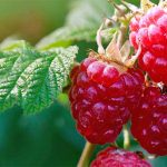 Closely cropped extreme closeup of four red raspberries growing on a plant with green leaves, and a green and brown background in soft focus.