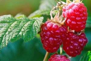 How to Grow Raspberries: Enjoy Berries for Years to Come