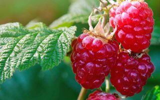 Enjoy Homegrown Raspberries for Decades to Come