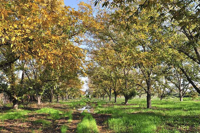 Pecan trees in the fall with leaves changing to shades of yellow and gold, with brown soil and green grass, and blue sky in the background.