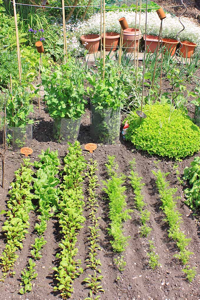Vertical image of rows of parsnips and other vegetables growing in brown soil in the garden, with potted plants in the background growing in black plastic and orange terra cotta containers.