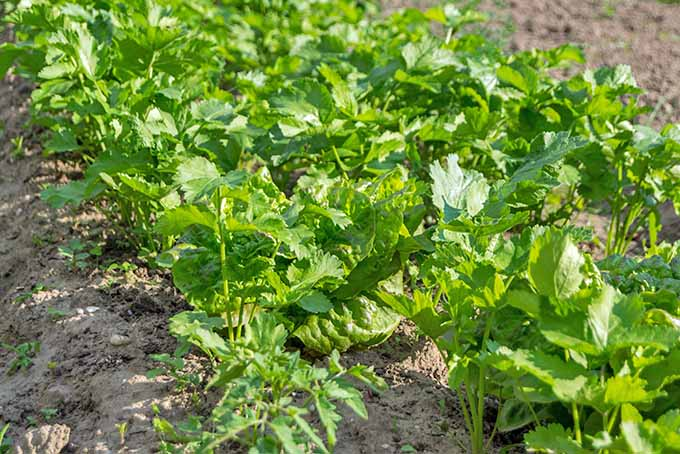 The green tops of parsnips are visible growing above brown soil in bright sunshine.