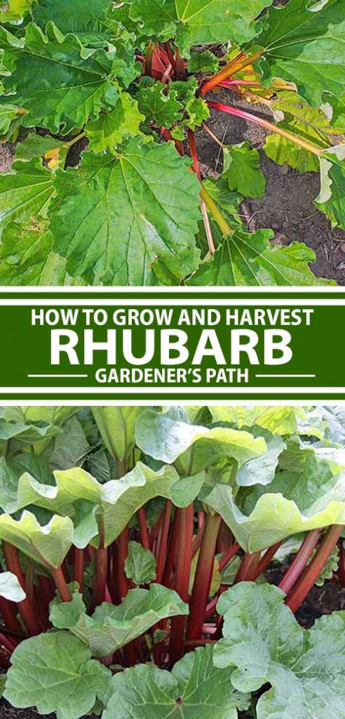 A collage of photos showing different views of rhubarb growing in a garden.