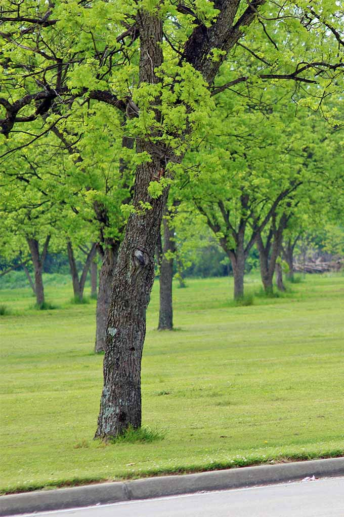 Vertical image of a pecan tree growing along a roadside in the foreground, with more trees growing in rows in the background, planted in a green lawn.
