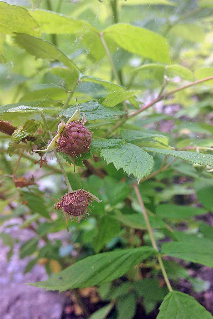Two dusty rose-colored developing raspberries with pale green sepals and green leaves.
