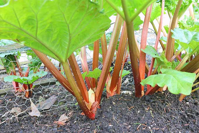 Pink and green rhubarb stalks grow in dark brown soil in the garden, topped with large green leaves.