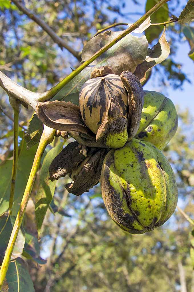 The green fruit of the pecan tree split to show the nut inside, growing on a skinny green branch with taller branches and blue sky in the background.
