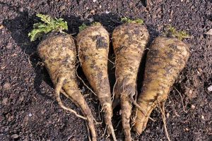 Planting Parsnips: One Taste and You'll Want to Grow Your Own