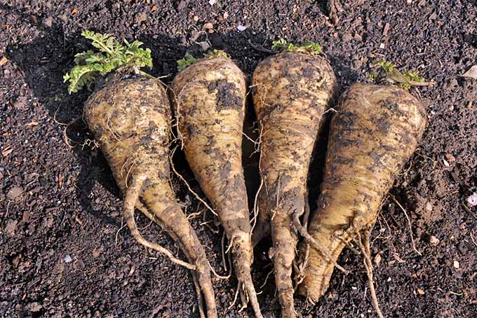 Four dirt-covered parsnips arranged in a row on brown soil in bright sunshine.