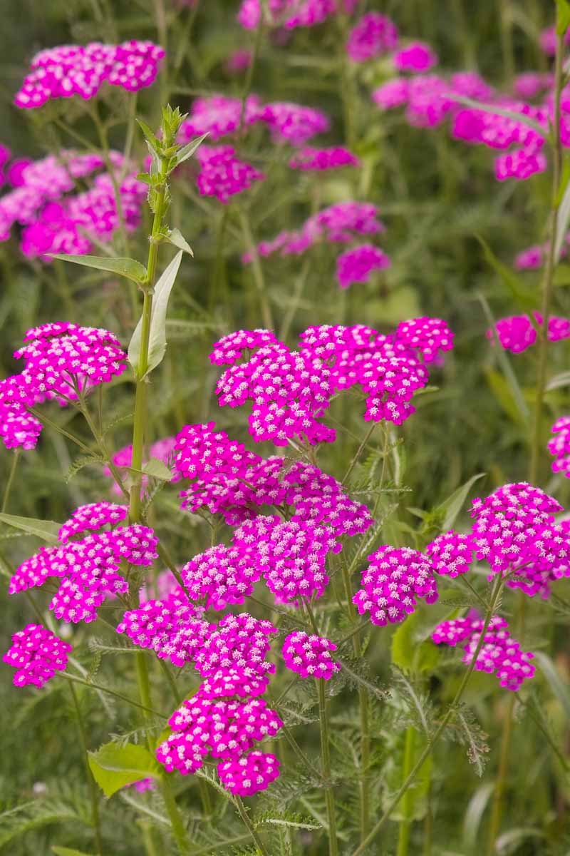 Vertical image of Achillea with vibrant violet flowers and green foliage.