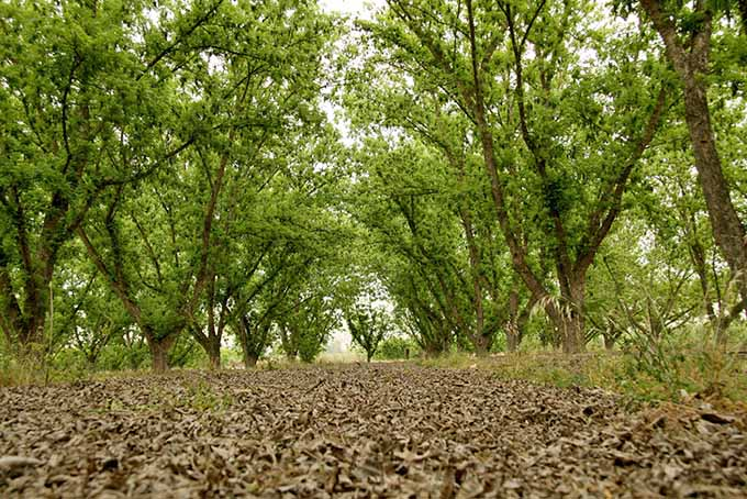 A grove of pecan trees with ground covered with dry, brown leaves.