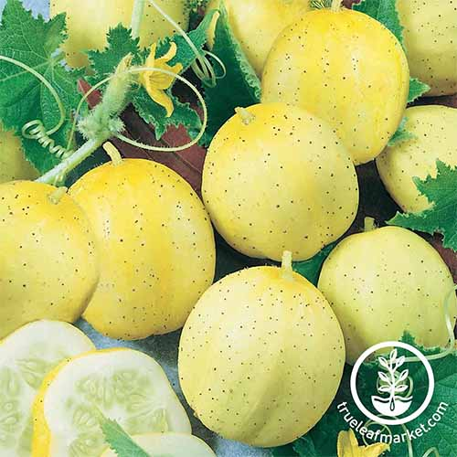 Several just-harvested 'Lemon' cucumbers, shaped like the citrus fruit with pale yellow skins, with a leaf and curly vine, and a few slices of the vegetable.