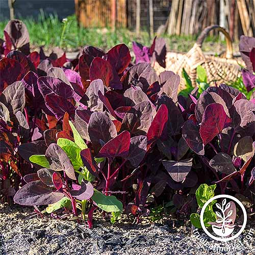 'Purple Orach' leaves growing on the garden in dark brown soil, with grass growing in the background.