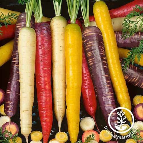 Heirloom white, yellow, red, and purple carrots arranged in a row on a black background with more whole and sliced carrots arranged in a circle around them.