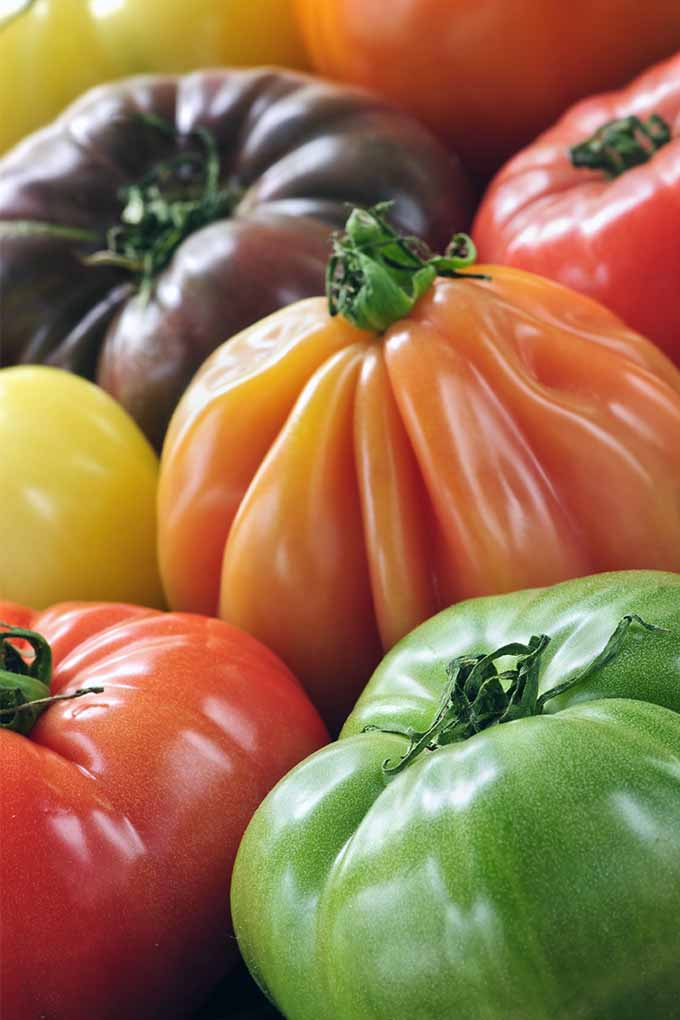 Vertical image of ripe green, red, orange, yellow, and purple heirloom tomatoes.