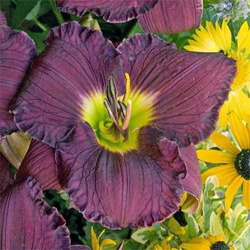 Closeup of a purple 'Nosferatu' Hemerocallis blossom with a green-yellow center, growing with yellow black-eyed susans.