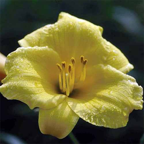 Closeup of a single pale yellow 'Stella de Oro' Hemerocallis blossom, covered lightly with dew, with a black background.
