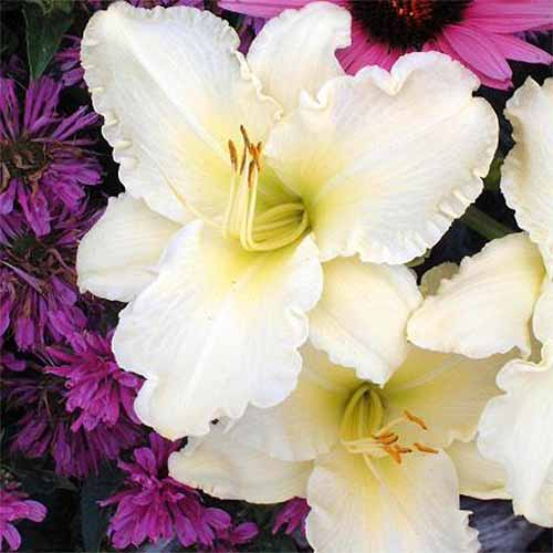 Closeup of white 'Sunday Gloves' Hemerocallis blooms, with purple flowers in the background.