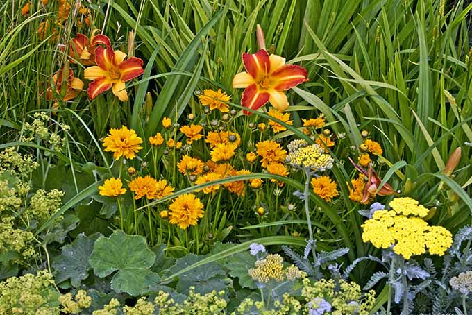 Red and yellow striped Hemerocallis flowers with orange coreopsis and yellow achillea.