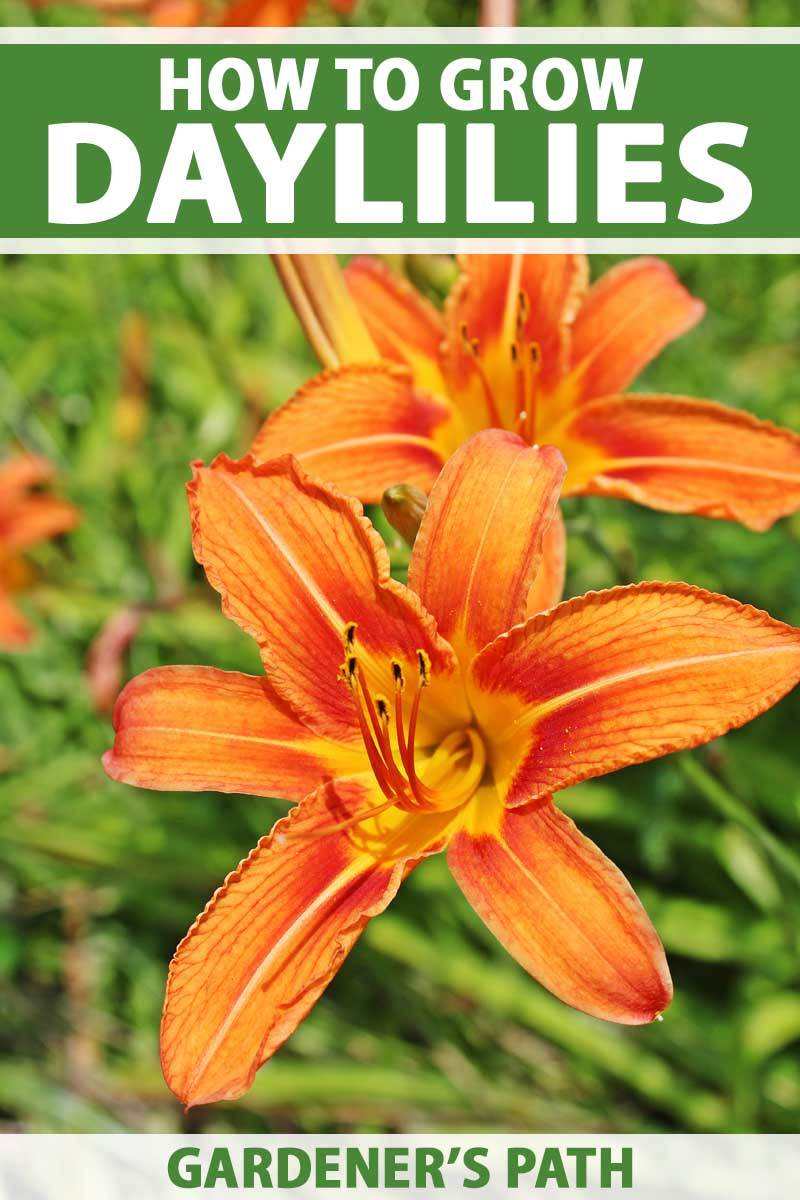 Close up of two orange daylily flowers in bloom.