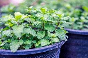 Mint: An Aggressive Grower That Serves Up a Punch of Flavor