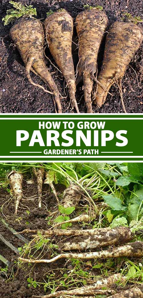 A collage of photos showing parsnips in a vegetable garden.