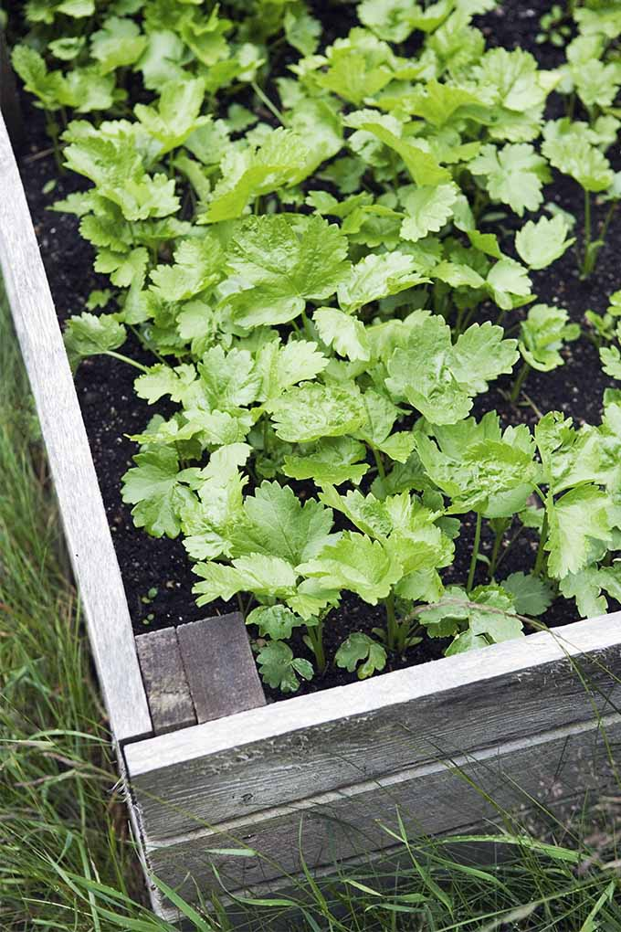 Top-down shot of green parsnip tops growing in black soil in a wood framed raised garden bed, with grass growing around the base.