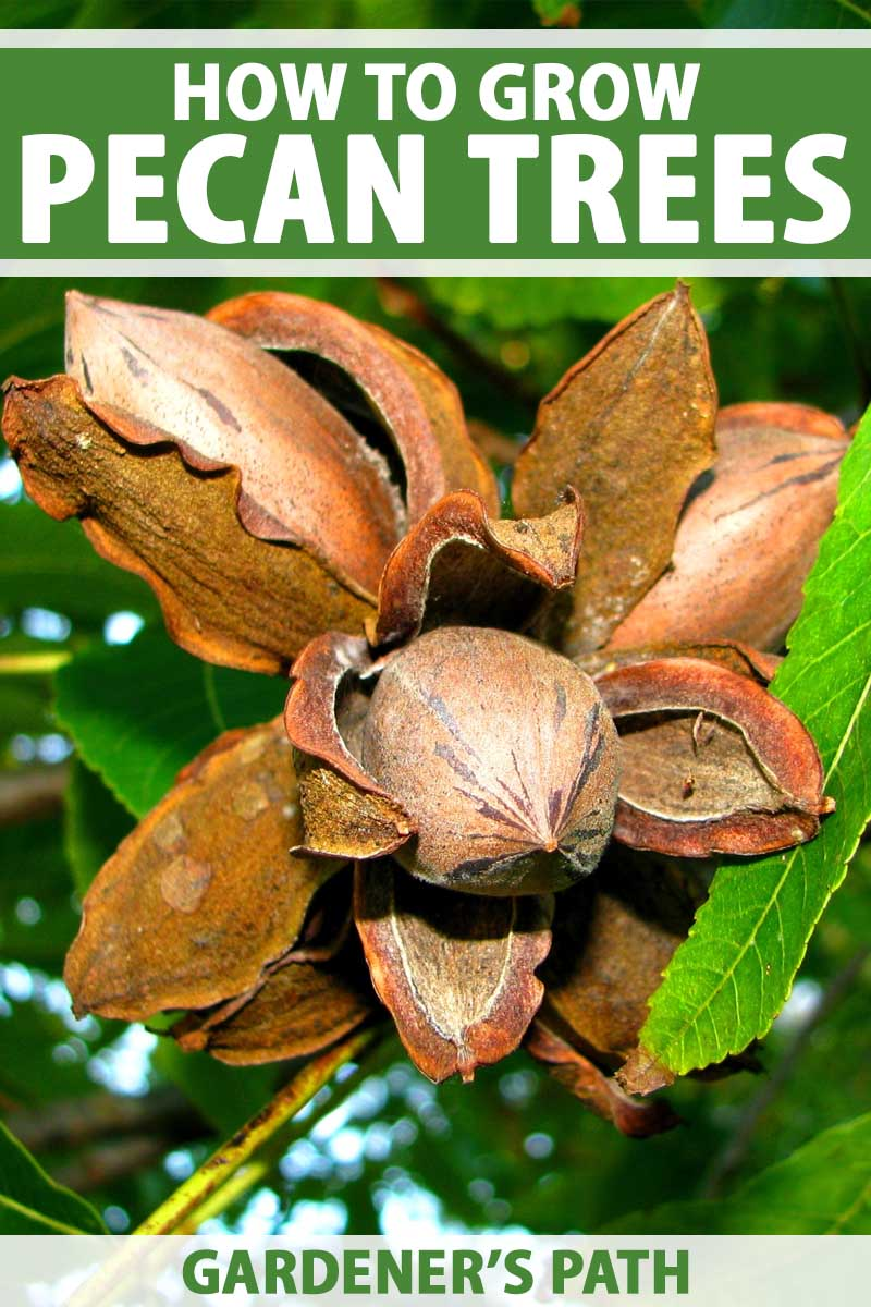 Pecan fruit dried and split open to show the nut-containing kernel inside, on a branch with brown leaves.