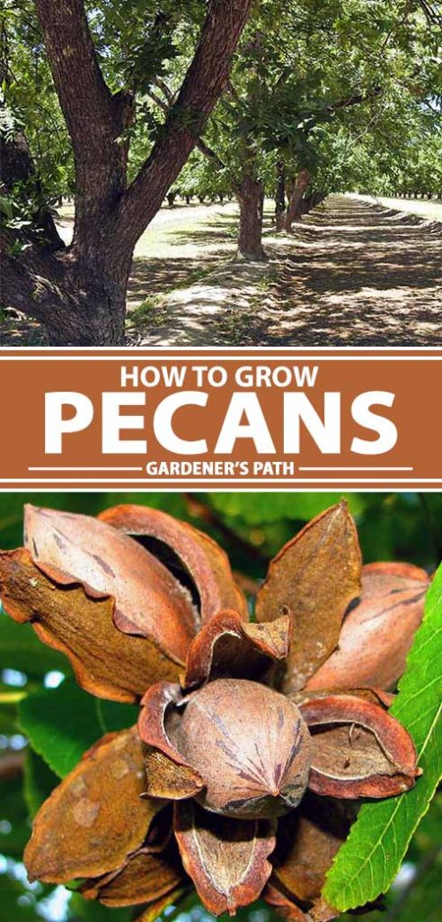 A collage of photos showing different views of pecan trees and fresh nuts.