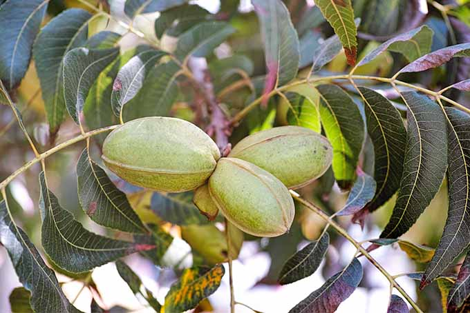 Pecans growing on a tree with light green pods and dark green leaves.