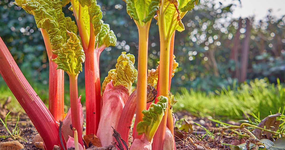 How to Grow and Care for Rhubarb Plants | Gardener's Path
