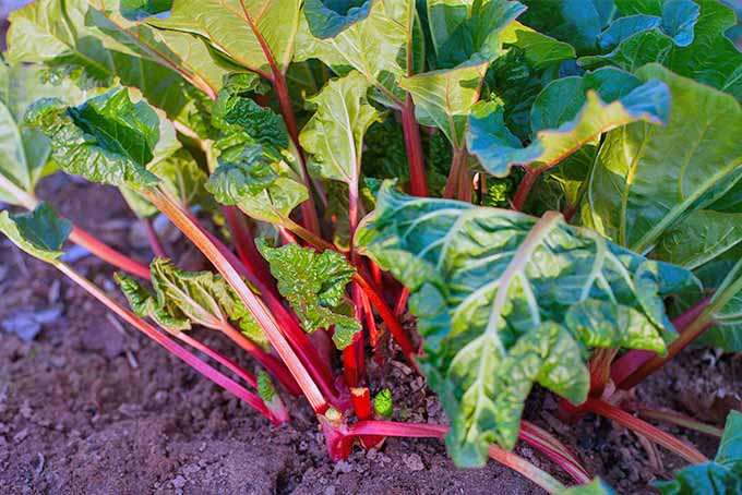 Rhubarb growing in the sunshine in a garden bed filled with brown soil, with pink stalks and large green leaves.