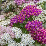 Pink, white, and purple yarrow with profuse blooms in the garden.