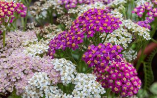 13 Hardy Yarrow Cultivars to Turn Barren Spaces into Beautiful Areas of the Garden