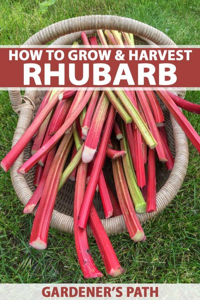 Top down view of freshly harvest rhubarb stalks in a wicker basket.