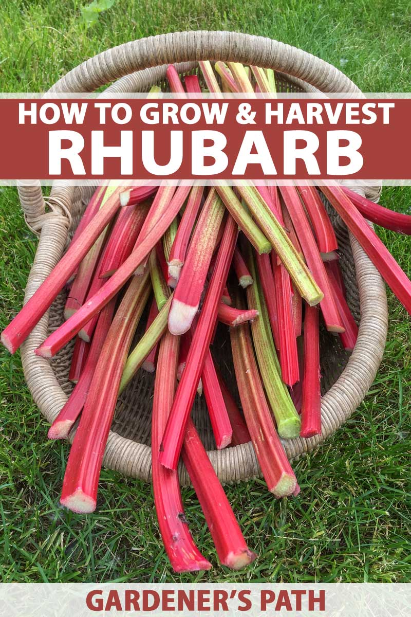 Top down view of freshly harvest rhubarb stalks in a wicker basket.
