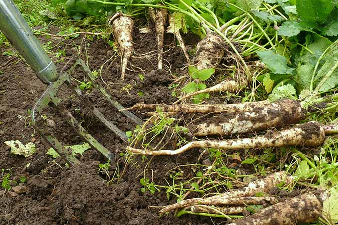 A metal pitchfork is being used to harvest white parsnips with green tops from brown earth.