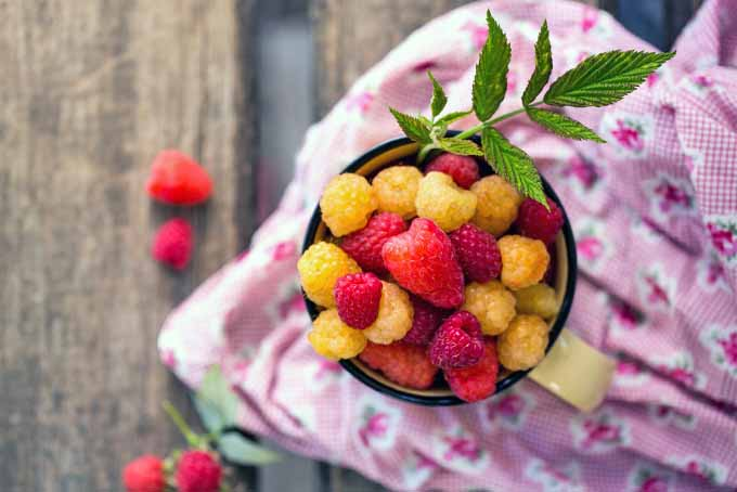 Top-down shot of a mug full of red and yellow raspberries, on a pink flower patterned cloth with four scattered red raspberries in soft focus, and a green sprig of raspberry leaves sticking out of the mug, on a brown wooden background.